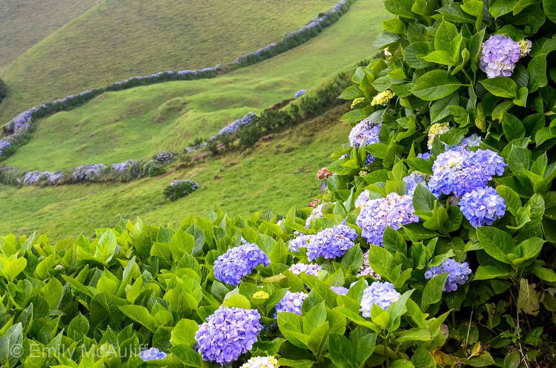 Hydrangeas in the Azores, Portugal